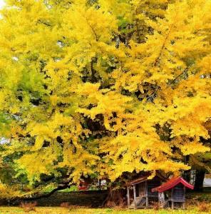 C'est en automne que la feuille de Ginkgo bio est le plus chargée en antioxydant naturel puissant