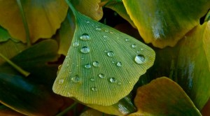 La feuille de Ginkgo biloba bio un antioxydant naturel puissant.