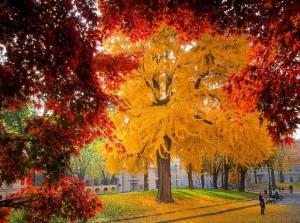 La feuille de Ginkgo bio est ramassée à l'automne, c'est là qu'elle est le plus chargée en antioxydant naturel puissant