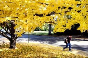 Les feuilles du Ginkgo biloba sont riches en antioxydants naturels puissants