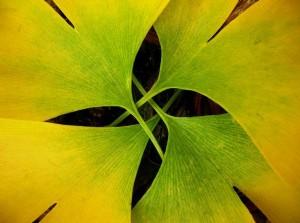 Le ginkgo biloba cultivé biologiquement produit beaucoup d'antioxydants naturels puissants