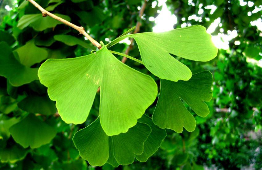 Le Ginkgo biloba bio est une plante médicinale qui contient des composés anti-oxydants. Or, des études antérieures ont suggéré que les anti-oxydants tuaient différents types de cellules cancéreuses.